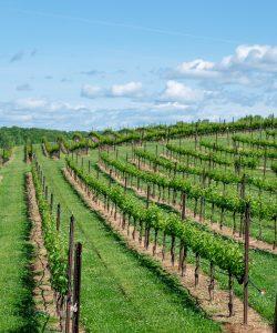 winery, vineyard, wine